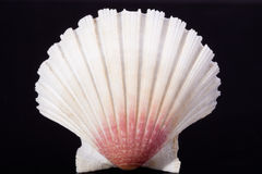 Sea shell of bivalvia on black background macro Stock Photo