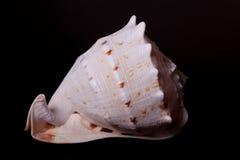 Sea shell on black Royalty Free Stock Photo