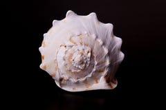 Sea shell on black Stock Image