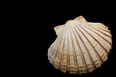 Sea shell on a black background Stock Photos