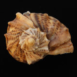Sea shell on the black backing. Sae shell isolated on the black backing Stock Images
