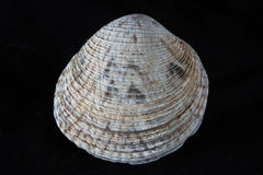 Sea shell. In black backround Stock Photography