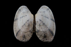 Sea shell. In black backround Royalty Free Stock Photos