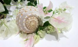 Sea shell and Bougainvilea  petals and leaves flowers on white background Royalty Free Stock Photo