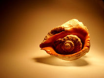 Sea shell on Brown Background. Sea shell on Orange Background Stock Photography