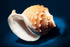Sea shell close up Royalty Free Stock Photos