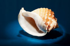 Sea shell close up Royalty Free Stock Photo