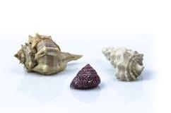 Sea shell. Close Up Macro sea shell trio Stock Photo