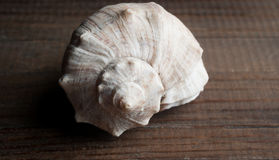 Sea shell closeup on dark background Royalty Free Stock Photography