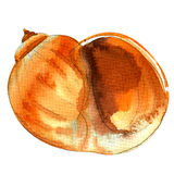 Sea shell closeup isolated, watercolor illustration on white Royalty Free Stock Photo