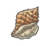 Sea shell. Color engraving vintage illustration. Isolated on white background. Sea shell. Color vector engraving vintage illustration. Isolated on white Stock Photos