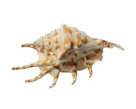 Sea shell conch. Isolated on white background Royalty Free Stock Photography