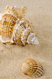 Sea shell and conch on sand Royalty Free Stock Photos