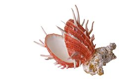Sea Shell and Coral Royalty Free Stock Image