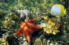 Sea shell and Cushion starfish. Cushion starfish with an Atlantic Triton Trumpet sea shell and a butterflyfish, Caribbean sea royalty free stock photography