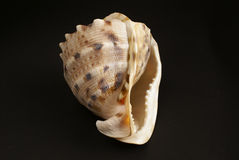 Sea shell on dark background Stock Images