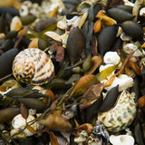 Sea Shell Details. Beach details of sand, shells and kelp Royalty Free Stock Photo