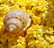 Sea-shell on Flowers. A single seashell on yellow flowers Royalty Free Stock Photos
