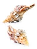 Sea shell Stock Image