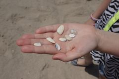 Sea shell. A hand holding sea shells at the beach Royalty Free Stock Image