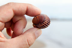 Sea shell. Royalty Free Stock Photo