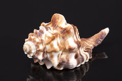 Sea shell of horse conch isolated on black background Royalty Free Stock Photos
