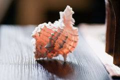 Sea shell in the interior. Sea pink shell lying on the table Stock Image