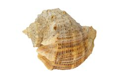 Sea shell isolated Stock Images