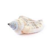 Free Sea Shell Isolated Stock Photo - 91980680