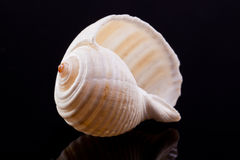 Sea shell isolated on black background Royalty Free Stock Images