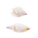 Sea shell isolated Royalty Free Stock Image