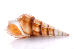 Free Sea Shell Isolated On White Background Royalty Free Stock Photo - 61836025