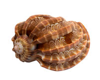 Sea shell isolated on white Stock Photo