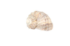 Sea shell isolated on white Royalty Free Stock Images
