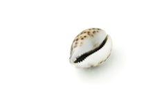 Sea shell Royalty Free Stock Photos