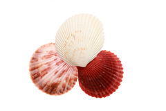 Sea shell isolated on a white Stock Image