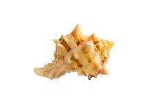Sea shell. Isolated on white background Stock Image