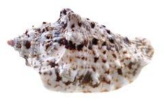 Sea shell isolated Royalty Free Stock Photography