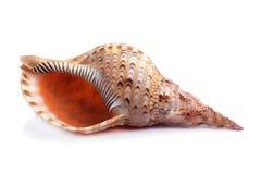 Sea shell isolated on white Stock Photos
