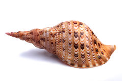 Sea shell isolated on white Royalty Free Stock Image