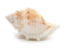 Sea shell isolated on white Royalty Free Stock Photos