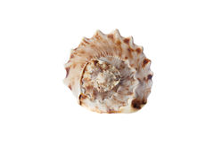 Sea shell isolated on a white background Stock Images