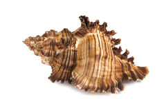 Sea shell isolated on white background. Brown sea shell isolated on white background Stock Photo