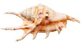 Sea shell isolated Stock Photos