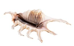 Sea shell isolated on white background. Clipping path royalty free stock images