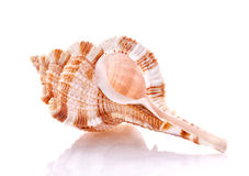 Sea shell isolated on white background Royalty Free Stock Image