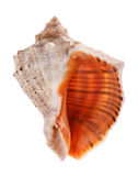 Sea shell isolated on white background Stock Photography
