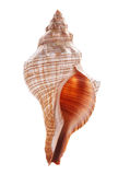 Sea shell isolated on white background Royalty Free Stock Photos
