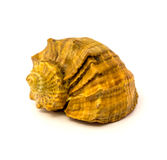 Sea shell isolated on a white background Royalty Free Stock Photography
