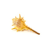 Sea shell isolated on a white background Royalty Free Stock Photos